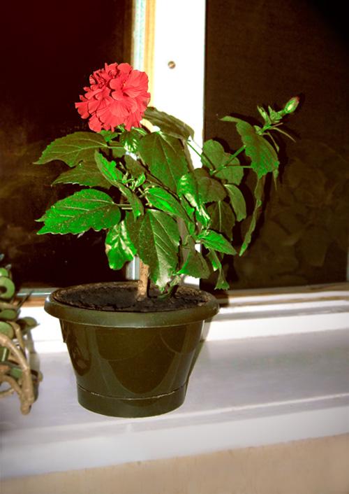 Выращивание китайской розы домашние 900